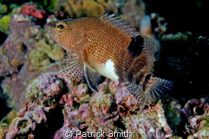A Belted Sandfish on Mammoth Rock Reef , in the Gulf of M... by Patrick Smith 